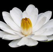 water-lily-4584863_1920